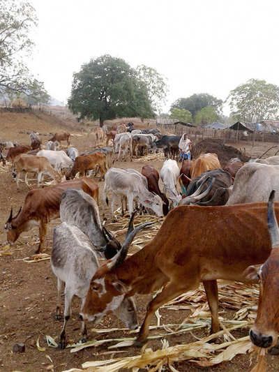 Fodder stations provide relief to cattle in Kollegal