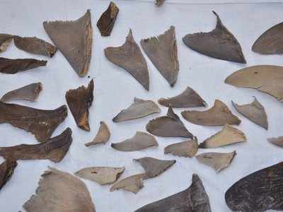 DRI seizes 8,000 kgs of shark fins bound for China from Mumbai and Gujarat