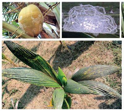 Karnataka: Invasion of the Whiteflies