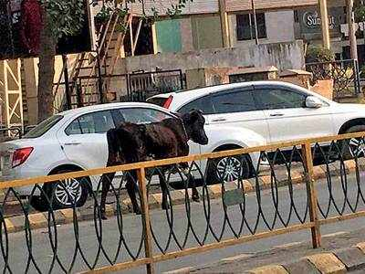 CNCD fails to stop stray moo-vement on CG Road