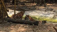 Pune: Four six-month-old tiger cubs released into tiger enclosure at Katraj zoo