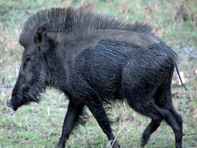 Urban Jungle: A boar-ing story