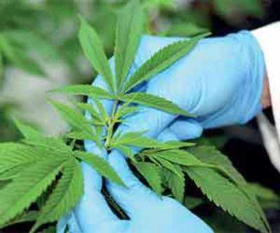 Should marijuana be legalised for medical purposes?