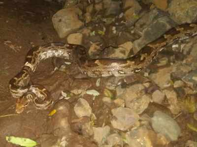 Mulund: Indian Rock Python stuck in a piece of PVC pipe rescued