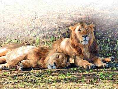 Gujarat's Asiatic Lions can become the pride of the world if Gir Sanctuary is declared a UNESCO natural World Heritage Site