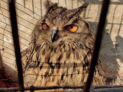 No sacrifice: Eagle-owl rescued