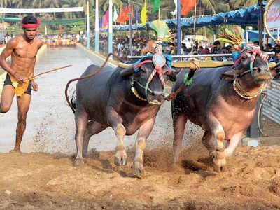 Karnataka: Supreme Court allows Kambala in Karnataka, for now