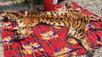 Jalpaiguri: 14-feet-long Royal Bengal tiger skin seized, Bhutani nationals arrested