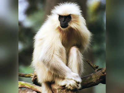A golden monkey in paradise
