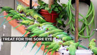 Treat for the eye: Man feeds hundreds of parrots daily in Visakhapatnam