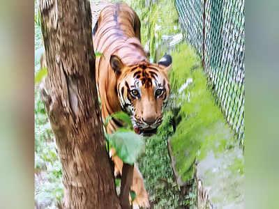 Royal Bengal tiger dies of cancer at Sanjay Gandhi National Park