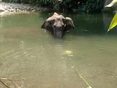 Kerala: Pregnant elephant dies after being fed pineapple stuffed with crackers