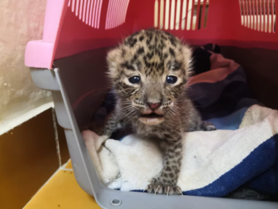 After attempts to reunite with mother fails, rescued leopard cub to be sent to rehab centre