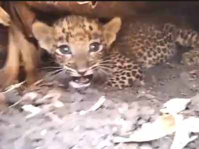 Nanded: Leopard cub reunited with mother after two-day operation, see video