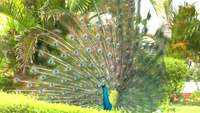 Watch: Peacocks dance along railway line in Tamil Nadu's Ramanathapuram