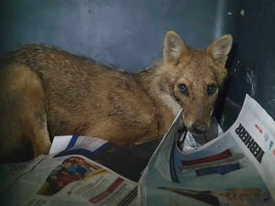 Dehydrated golden jackal rescued near Navi Mumbai at midnight