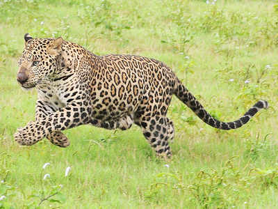 Leopard caught in Seepz, released in Sanjay Gandhi National Park