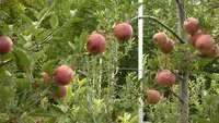 J&K: Modern infrastructure to increase apple production in Kupwara