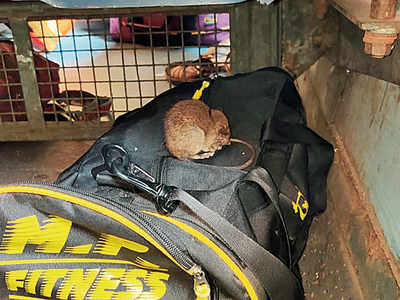 Western Railway spends nearly Rs 3,000 to kill one rat; trapped only 5,457 rats in past three years