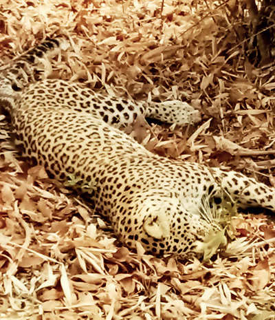 Alarming rise in leopard deaths spotted in Maharashtra this year