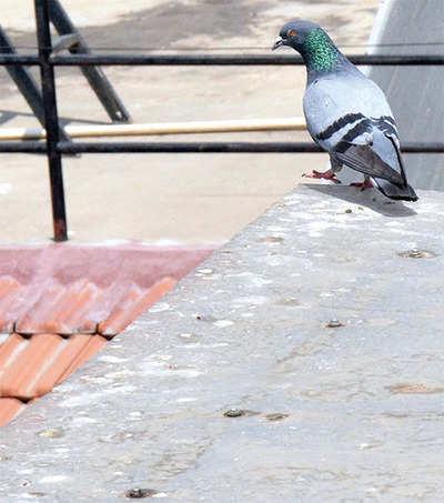 'Pigeon poop causes 60 diseases'