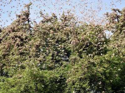 Swarms of locusts now enter Maharashtra's Bhandara district
