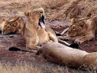Several Gir lion samples test positive for CDV