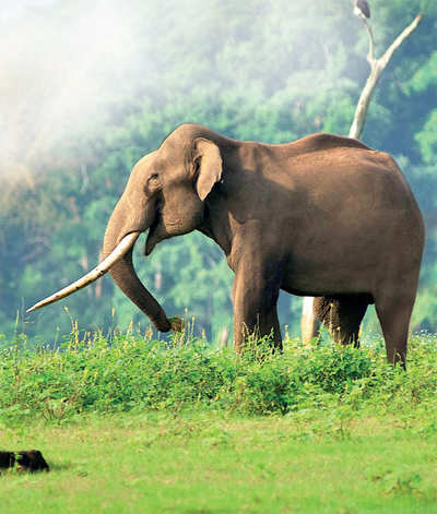 Elephant Census 2017: Jumbo success for Karnataka