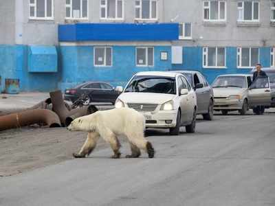 Polar bear spotted in Russian city, far from normal habitat