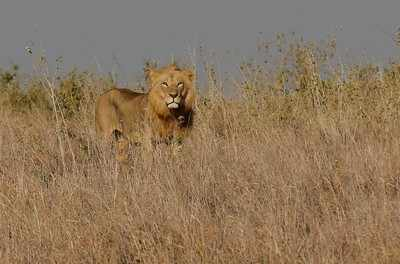 3lionesses take ill, die in Gir in a week