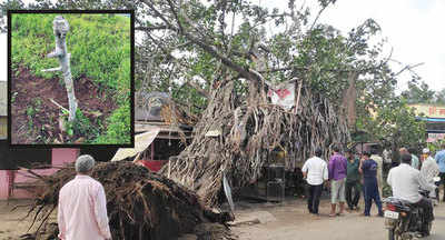 160-year-old banyan sprouts 1,500 new trees