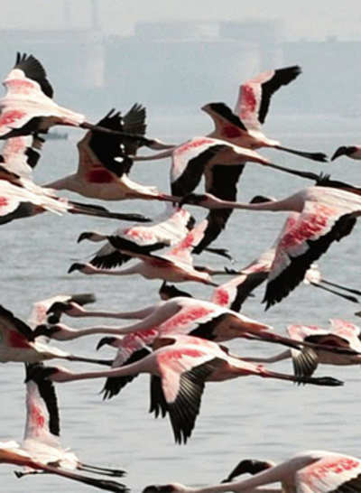 Sewri mudflats, home to migratory flamingos, to become a sanctuary
