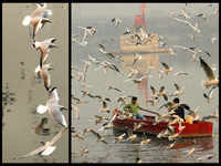 Watch: Migratory brown-headed seagulls arrive at Delhi's Yamuna Ghat