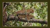 Madhya Pradesh: Rare video of leopards mating on a tree goes viral