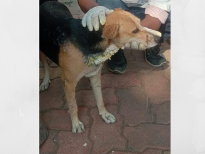 Mumbai: Dog seen in CCTV footage of Leopard Attack survives; another stray dog succumbs