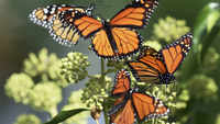 66 new butterfly species in Delhi, some rare