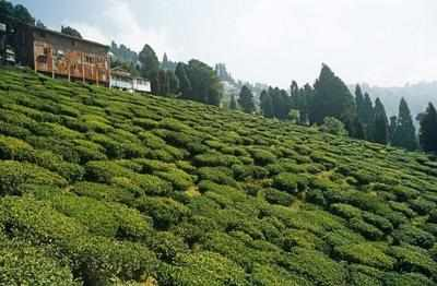 Go in for a tea garden therapy