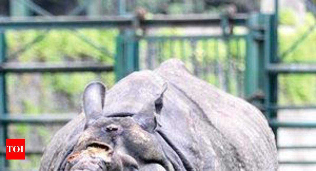 Rhino Shiva refuses to leave Byculla zoo - Times of India