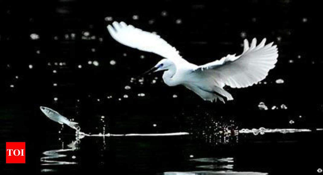 Whistling Teal: 32,000 migratory birds visit Loktak lake in Manipur