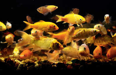 Now, you can breed stress-busting ornamental fish in your