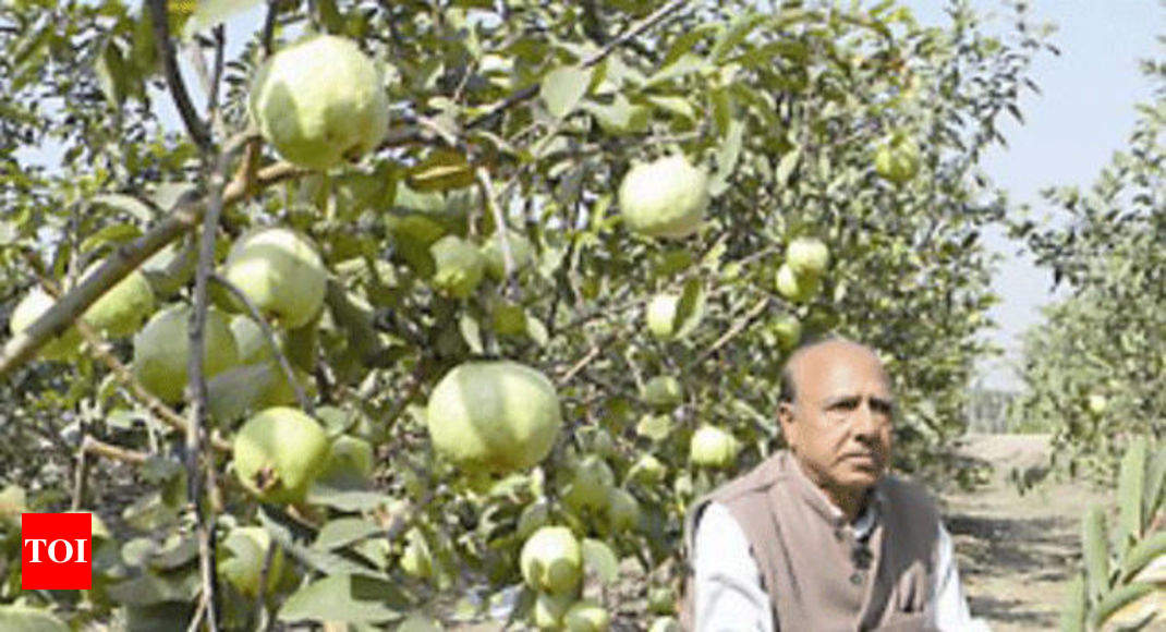 Hybrid guava developed in state a huge draw - Times of India