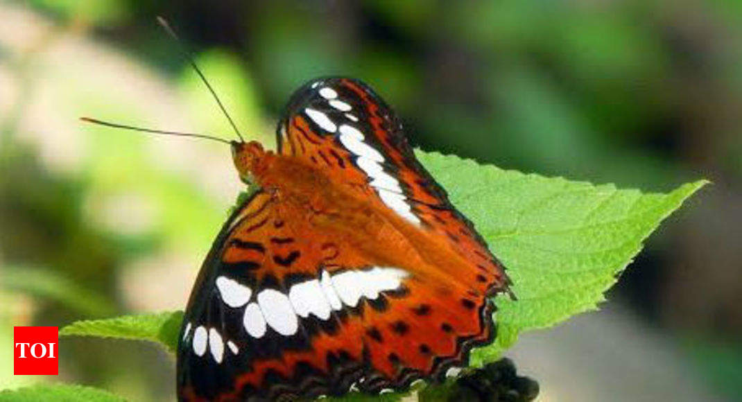 survey finds 113 butterfly species in srivilliputhur grizzled