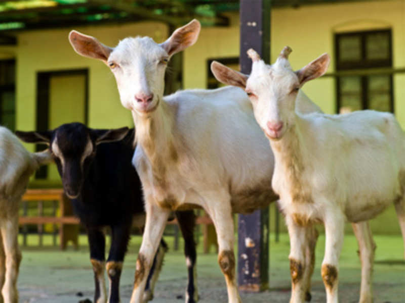 Nutritional facts about goat meat you should know