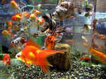 Goldfish has a memory of three-second. No, this is not true. Scientific research says