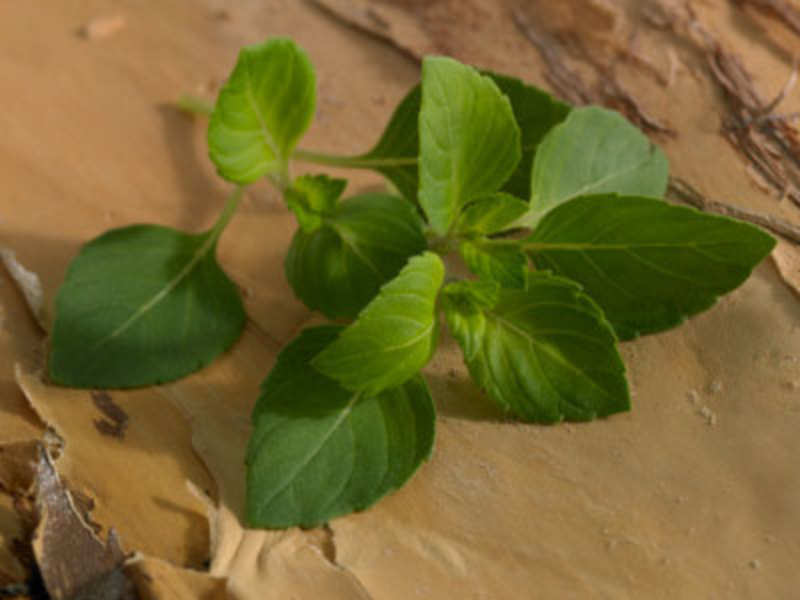 Amazing facts about Tulsi (Getty Images)
