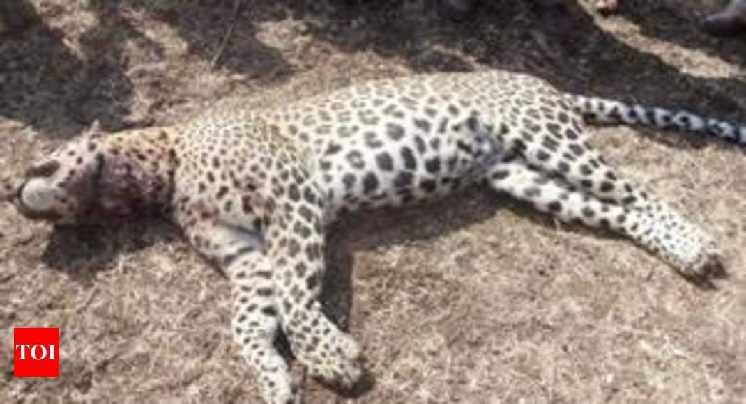 Leopard found dead in Dewas jungle - Times of India