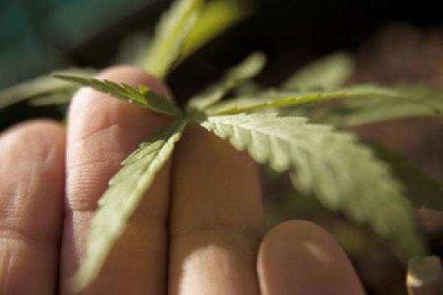 US startups see new worlds open up to marijuana