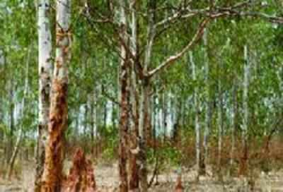 2 000 Hectare In Surat Tapi Under Eucalyptus And Teak