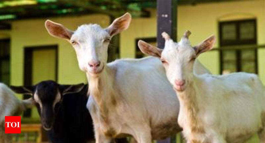 This Eid, goats come with combo offers, free home delivery