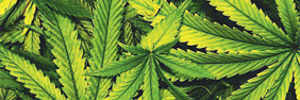 Cannabis genes could be used to control flavours 'like wine'
